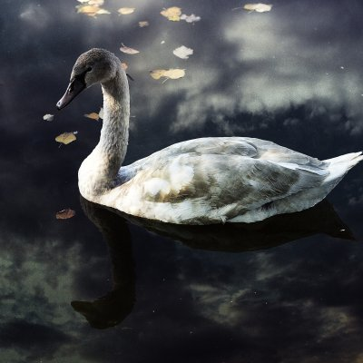 The Young Swan